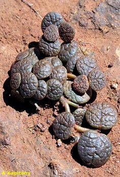 Jacksonia scoparia