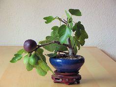 http://forum.giardinaggio.it/bonsai/99120-chiedo-consigli-per-gli-acquisti-2.html