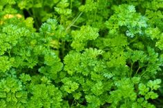 Parsley Benefits: more than a simple garnish // Methow Valley Herbs