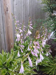My hostas are blooming🌿🌸 Bloom, Garden, Plants, Garten, Lawn And Garden, Flora, Gardening, Outdoor, Plant
