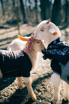 18 Goats Of Anarchy Ideas Goats Anarchy Cats Of Instagram