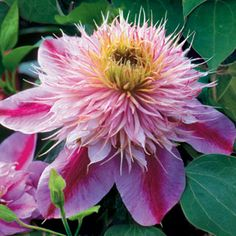 This exciting new Clematis combines unusual flower form with super long bloomtime to give you 5 months or more of glorious color!