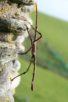 how to find walking stick insects