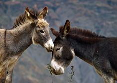 Donkey Love by Denis Torres Donkey Donkey, Cute Donkey, Farm Animals, Cute Animals, Miniature Donkey, Animal 2, Cool Pets, Wild Horses, Beautiful Creatures