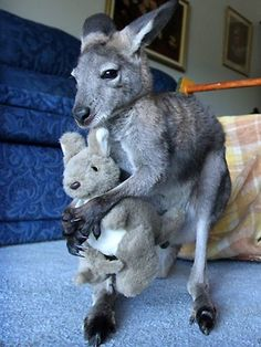 Rescued 'Roos (with a kangaroo stuffed toy?!) http://www.adelaidenow.com.au/saved-roos-come-along-in-leaps-and-bounds/story-e6frea6u-1226268093233