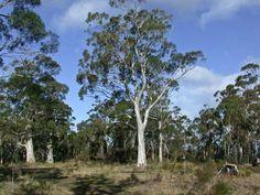 """Képtalálat a következőre: """"eukaliptusz fa"""" Hello Hello Plants, Ascot Vale, Specimen Trees, Small White Flowers, Types Of Plants, Garden Supplies, Evergreen, Shrubs, Peppermint"""