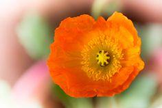 Poppy by shinichiro*, via Flickr