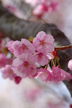 桜(さくら) Cherry blossoms