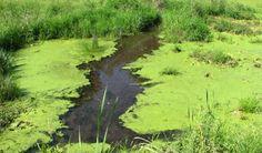 #Blue-green algae reported in St. Charles Lake - Sudbury.com: Sudbury.com Blue-green algae reported in St. Charles Lake Sudbury.com The…