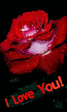 Download Animated 480x800 «Rose» Cell Phone Wallpaper. Category: Flowers