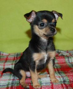 Black and tan shorthair chihuahuas