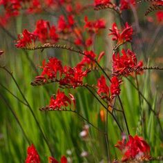 Crocosmia Lucifer also known as Montbretia is an attractive clump forming herbaceous perennial which produces tall deep red flowers Acer Garden, Bog Garden, Garden Plants, Red Perennials, Herbaceous Perennials, Fall Flowers, Red Flowers, Indoor Flowering Plants, Crocosmia