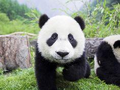 panda's will always brighten my day.