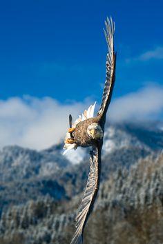 Crosswind. Austrian Bald Eagle, Gesäuse National Park, Austria