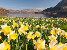 Normally, I don't do flowers too much (I'm a more woodsy scent kind of gal, traditionally) But this really caught my eye: Ullswater Daffodils Vintage Style Print - Love the Lakes Self Catering Cottages, Fine Hotels, Seasonal Flowers, Spring Blooms, Cumbria, Lake District, Daffodils, That Way, Perfect Place