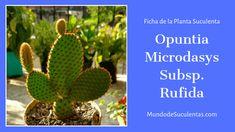 Opuntia Microdasys Subsp Rufida - Fichas de Plantas Suculentas Air Plants, Cactus Plants, Opuntia Microdasys, Cactus Art, Cactus Y Suculentas, Succulents, Garden Ideas, Gardening, Patio