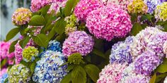 Hydrangea Gardening Tricks - How to Grow Hydrangeas and Even Change Their Colorr