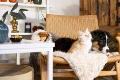 Australian Shepherd. Norsk Skogskatt. Miwo Design. Skandinavisk Design till Katt och Hund. Valp. Kattunge. Blue Merle, Working Dogs, Australian Shepherd, Border Collie, Shag Rug, Pup, Grey, Home Decor, Aussie Shepherd