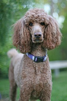 When ya gonna throw something?    I don't know the name of this poodle if anyone does please share.