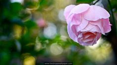 http://bestrosewallpaper.com/pink-white-rose-wallpaper-backgrounds/