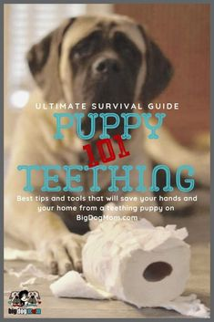 Puppy Teething Ultimate Survival Guide for Large Breed Puppies Training Your Puppy, Dog Training Tips, Training Classes, Schnauzer, Puppy Teething, Teething Toys, Teething Stages, Puppies Tips, Mutt Puppies