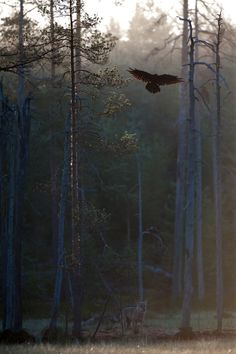 ☀two wolves at dawn ~ Wolf and raven by Mika Pulkkinen on 500px**