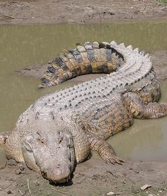 Saltwater crocodile. Largest reptile- Australia. They can stay underwater for 2 hours.  Lifespan: 70 years  Male: 880-2,200 lbs./ 14-17 ft. long Female: 180-220 lbs./7.5-11 ft. long