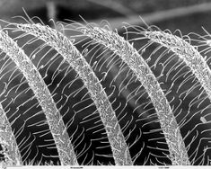 Scanning electron microscope image of part of an antennae on a midge.