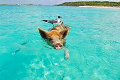 Are you looking for a Pig Island vacation? Here are the top 10 things to do in Exuma Bahamas including tips for swimming with those funny pigs. Les Bahamas, Bahamas Beach, Exuma Bahamas, Bahamas Vacation, Vacation Deals, Vacation Travel, Nikon D3000, Swimming Pigs Exuma, Swimming Tips