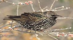 When Shakespeare wrote the play Henry the Fourth in 1597, he had no way of knowing the trouble it would bring to North American birds in the 20th century. Somewhere in the play Shakespeare made an ...