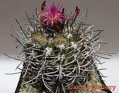 neoporteria nigra spinum Cactus Gallery