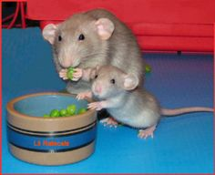 The History Of Pet Rats Mother and Baby