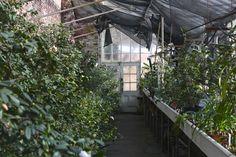 Lyman Estate Camellia House | Gardenista