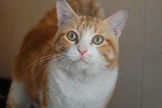LENON - Gato en adopción - AsoKa el Grande