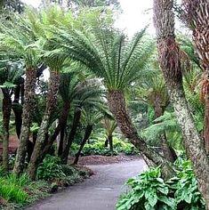 Dicksonia antarctica (Tasmanian Tree Fern)                 -atSan Marcos Growers