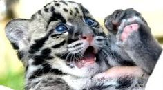 """Résultat de recherche d'images pour """"panthère nébuleuse"""" Panther, Images, Animals, Search, Animales, Animaux, Panthers, Animal, Animais"""