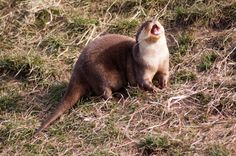 Otter will sing for a fish - March 27, 2014