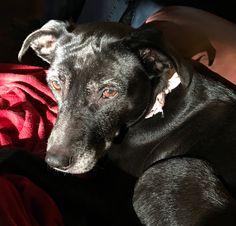 Princess- black lab greyhound mix Crazy Dog, Lab, Princess, Dogs, Animals, Animaux, Doggies, Labs, Animal
