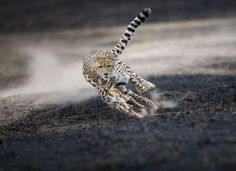 Winners of the 2018 National Geographic Photo Contest - Animals Wild Life Cat Photography, Creative Photography, Amazing Photography, Photography Contests, Photography Awards, Van Gogh Pinturas, National Geographic Photo Contest, National Geographic Wild, Llama Face
