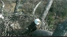 A year after their fame on the DC Eagle Cam, bald eagles First Lady and Mr. President are expected to grow their family in the next week.