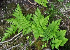 Dryopteris expansa - Wood Fern