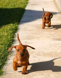 Dachshund puppies go for a walk.
