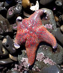 Leather star fish.jpg Wiki page, we saw one at Fitzgerald Marine Reserve in Moss Landing, CA.  One of my favorite places to tidepool.