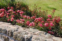 Byla-li půda předem dobře připravená a je-li již slehlá, můžeme začít s výsadbou. Růže však nesmíme sázet, když je půda mokrá a mazlavá, neboť takové podmínky podporují vznik hniloby kořenů. Také teploty pod bodem mrazu jsou na překážku sázení. Připravené sazenice nenecháváme nikdy volně ležet, zejména ne na slunci, a chráníme kořeny i před větrem. … Pokračování textu Sázení růží