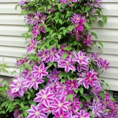 How and Why to Prune Clematis If you've ever seen a clematis that is one big mountain of tangled up stems, it's almost enough to scare you away from growing them. But let's take a look at why, when, and how these remarkable vines should be pruned and you' Clematis Care, Clematis Plants, Garden Plants, House Plants, Climbing Clematis, Clematis Varieties, Blue Clematis, Clematis Trellis, Vine Trellis