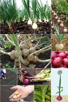 How to Grow Onions from Seed #Onions #seed #grow