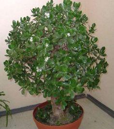 Bonsai Art, Bonsai Plants, Cactus Plants, Crassula Ovata, Jade Plants, Flower Pots, Flowers, Feng Shui, Herbs