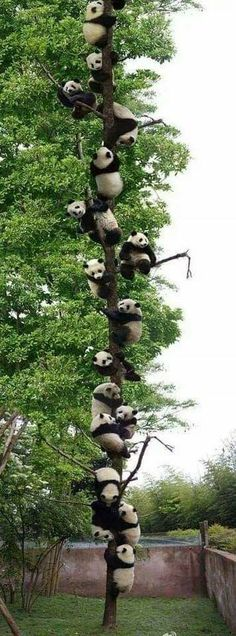 OHHH !!! - IT'S A PANDA TREE!! (Obviously they really do exist! ;) 💚