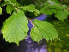 Hassel, Corylus avellana - Träd och buskar - NatureGate