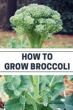 Organic vegetable gardening tips: how to grow broccoli #OrganicGarden #GardenPlants